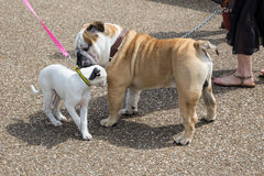 bulldog-puppy-two-dogs-greeting-each-other-sniffing-whilst-out-walk-leashes-40612487