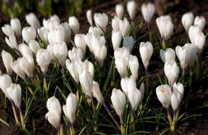 1762320-spring-holiday-white-crocus-flowers